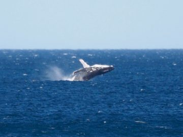 Whale Breach - Image Courtesy of Baby Zoology